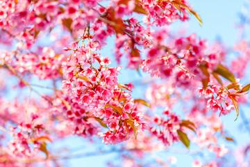 Pink flower, Wild Himalayan cherry blooming (Prunus cerasoides)