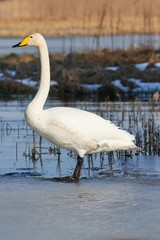 Whooper swan (Cygnus Cygnus) standing on the edge of the ice at frozen lake in Finland in spring.