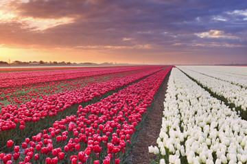 Rows of colourful tulips at sunrise in The Netherlands