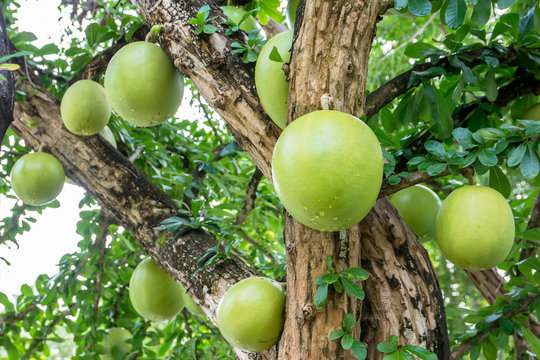Calabash Tree,Crescentia cujete