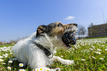 jack russell terrier dog with ball in his mouth in the middle of a meadow of daisies