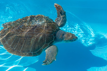 Tartaruga marinha na água.