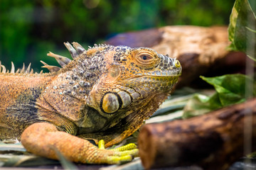 Yellow iguana sitting in a terrarium
