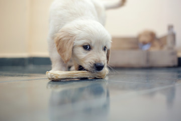 Golden Retriever with bone