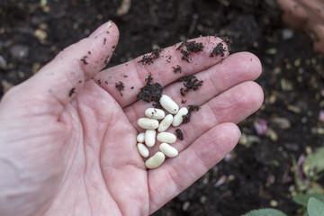 Hand holding bean seeds