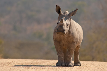 A White Rhinoceros calf (Ceratotherium simum simum) in Kruger National Park, South Africa