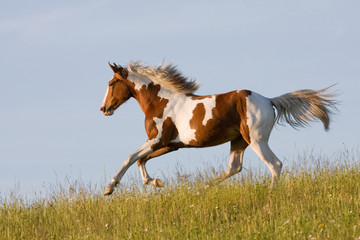 Nice young appaloosa horse running
