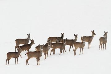 roe deers on white snow