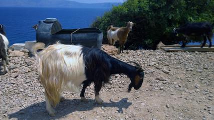 Греческие козы