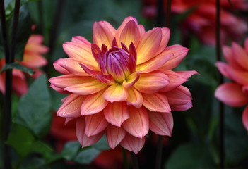 A beautiful pink yellow purple colored dahlia flower in a green natural environment