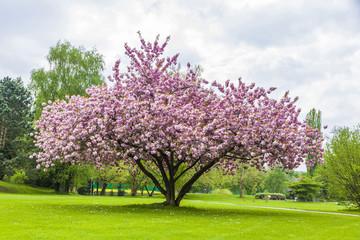 Beautiful sakura tree in the park