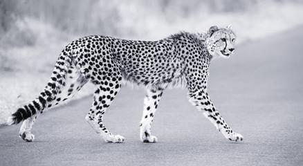Lone cheetah walking across road at dusk
