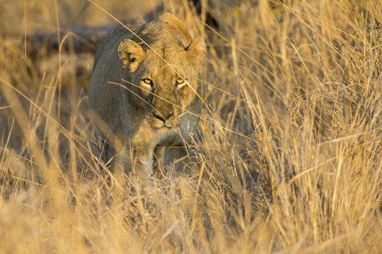 Lioness move in brown grass to kill