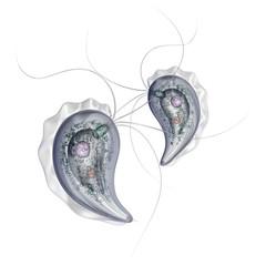 Trichomonas vaginalis isolated on white background