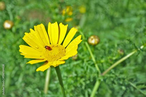Margherita gialla con coccinella rossa imagens e fotos - Coccinella foto gratis ...