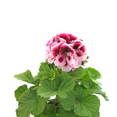 Pelargonie, Edelpelargonie, Grandiflorum, Geranium