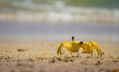 Carneiros crab