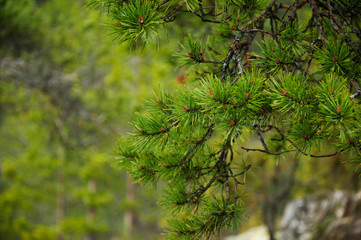 Pine branches forest background