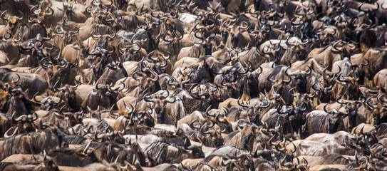 Wall Mural - Wildebeests are crossing Mara river. Great Migration. Kenya. Tanzania. Masai Mara National Park. An excellent illustration.