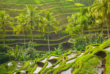 Tuinposter Bali Beautiful rice terraces in the moring light near Tegallalang village, Ubud, Bali, Indonesia.