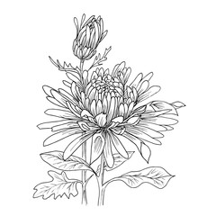 Flower hand drawn aster