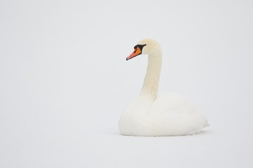 Mute Swan in white snow