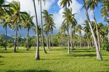 Coconut palm trees plantation in Huahine island, French Polynesia