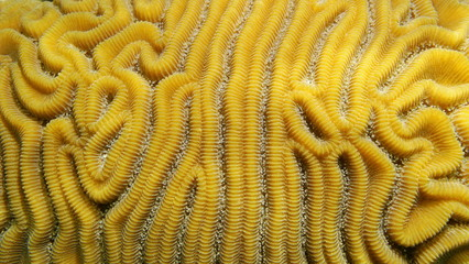 Grooved brain coral, Diploria labyrinthiformis, close-up, Atlantic ocean