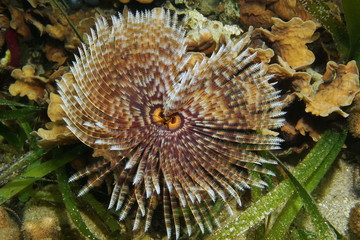 Underwater marine worm, a Magnificent feather duster worm, Sabellastarte magnifica, Caribbean sea
