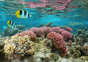 Pink cauliflower coral in shallow water with butterflyfish and a shark in background, Pacific ocean, Huahine island, French Polynesia