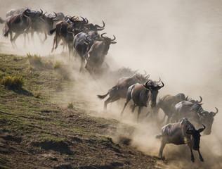 Wall Mural - Wildebeests running through the savannah. Great Migration. Kenya. Tanzania. Masai Mara National Park. An excellent illustration.