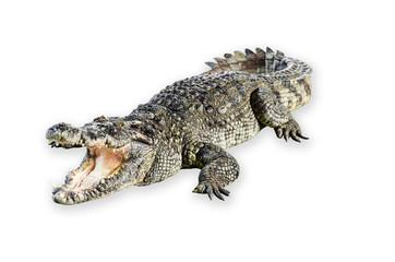 Wildlife crocodile open mouth isolated on white background.