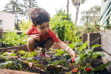 Mixed race boy picking strawberry in garden