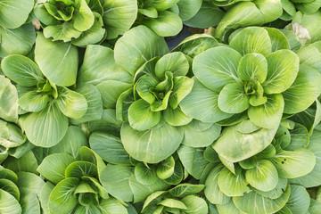 Fresh organic vegetables growing at the farm, Salad vegetable.