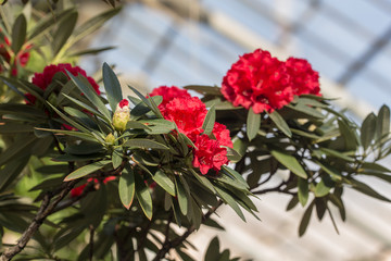 red azalea in the spring garden