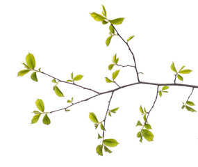 Early spring flowering green tree branch isolated on white. Early spring concept