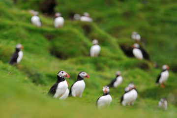 Atlantic puffins colony on the hill. Puffins on the hill. Iceland. Westman Islands.