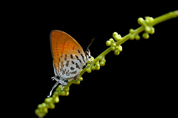 Close up of Common Posy (Drupadia ravindra boisduvalii) feeding on Thai Croton,thailand