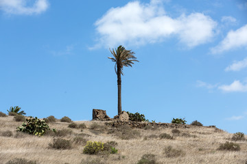 High palm tree in Haria city, Lanzarote island, Spain