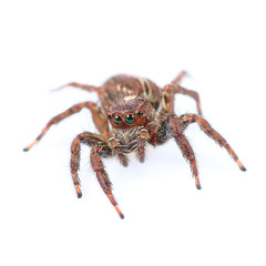 One home spider isolated on white