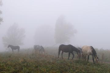 Fototapeta Horses in the mist