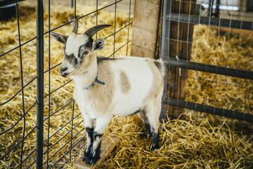Goat standing in hay in barn
