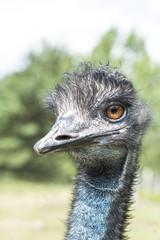 Close up of an Ostrich head. Shallow DOF.