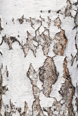 Fototapete - birch bark background
