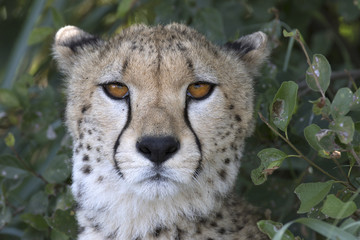 Close up portrait of a wild cheetah
