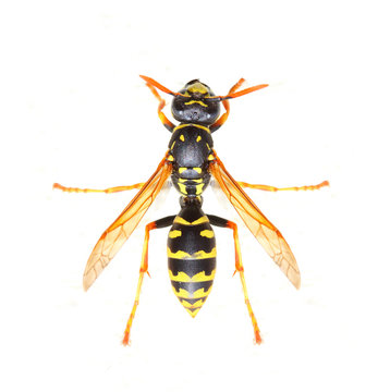 Yellow Jacket Wasp on white background. Close up with shallow DOF.