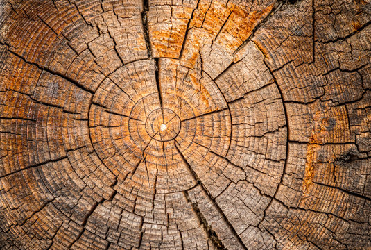 Old weathered spruce tree trunk
