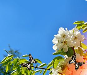 Flowering pear. Spring flowering garden.