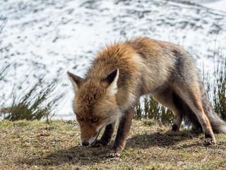 Cute red fox (Vulpes vulpes) ready to hunt