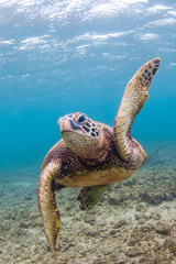 Endangered Hawaii Green Sea Turtle cruising in the warm waters of the Pacific Ocean